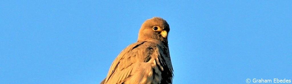 Falcon, Sooty
