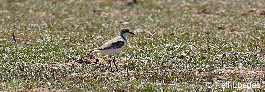 Plover Greater Sand