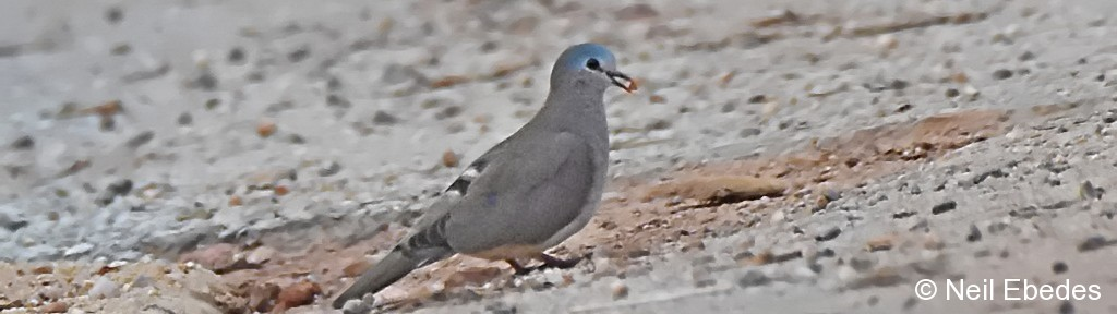 Wood Dove, Blue-spotted