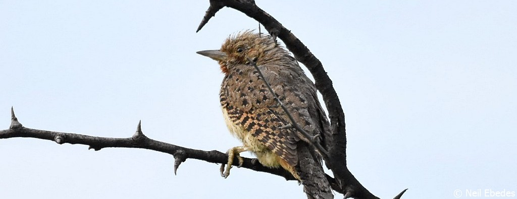 Wryneck, Red-throated