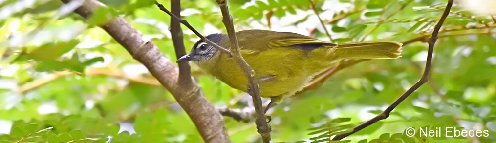 Greenbul, Stripe-cheeked