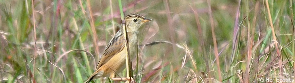Cisticola, Wing-snapping