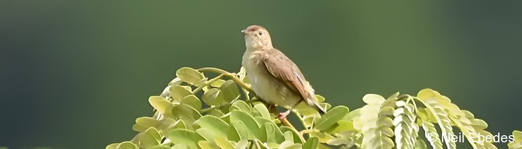 Cisticola, Short-winged