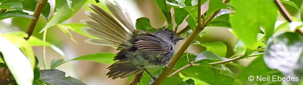 Flycatcher, White-tailed Crested