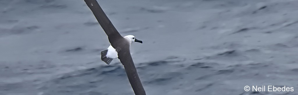 Albatross, Atlantic Yellow-nosed
