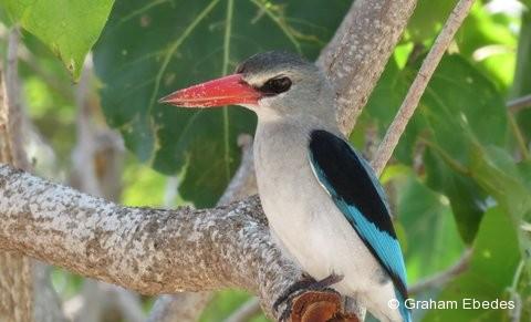 Kingfisher, Mangrove