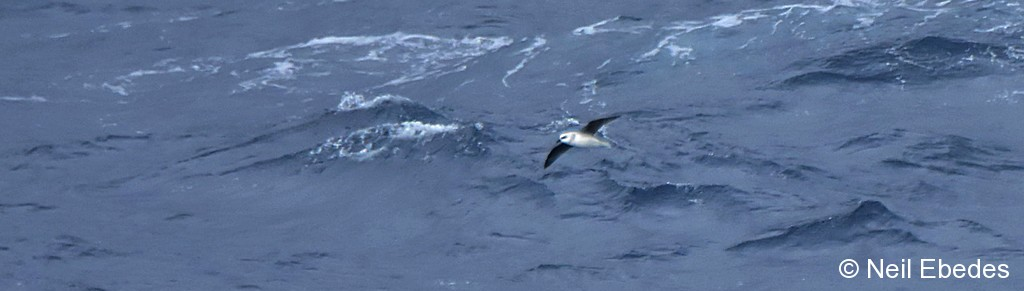 Petrel, White-headed