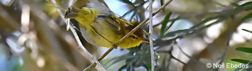 Woodland Warbler Yellow-throated